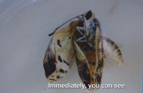 幼虫の段階で汚染された食物を食べた蝶