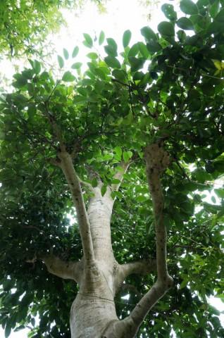 クロガネモチの木